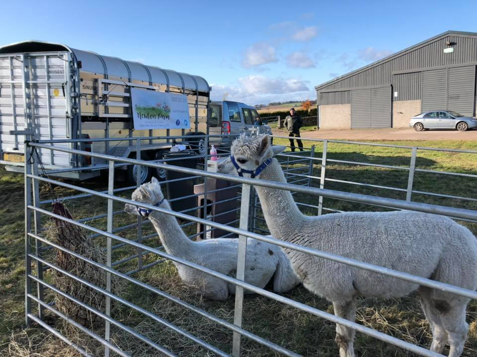 Alpaca, Newton farm